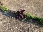 red shiso in sidewalk crack
