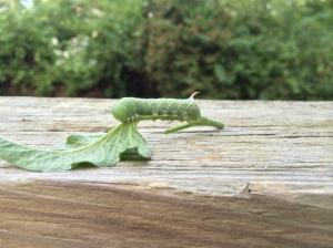 Tomato hornworm, plucked off plant