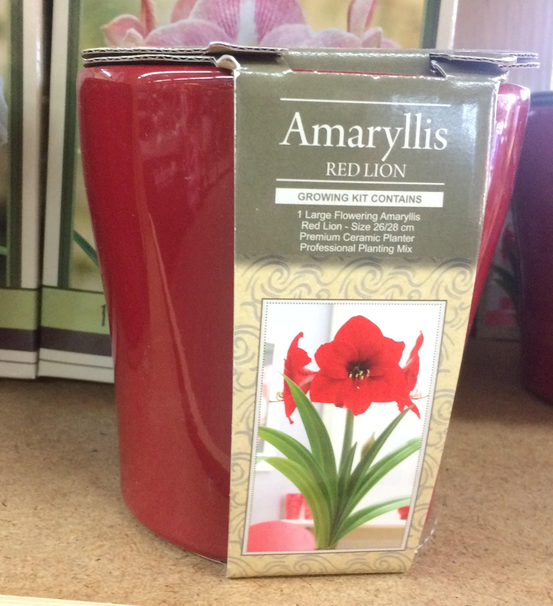 Amaryllis bulb gift