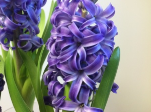 Hyacinth Blue Pearl, first flush of flowers