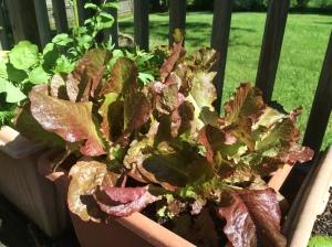 red loose leaf lettuce