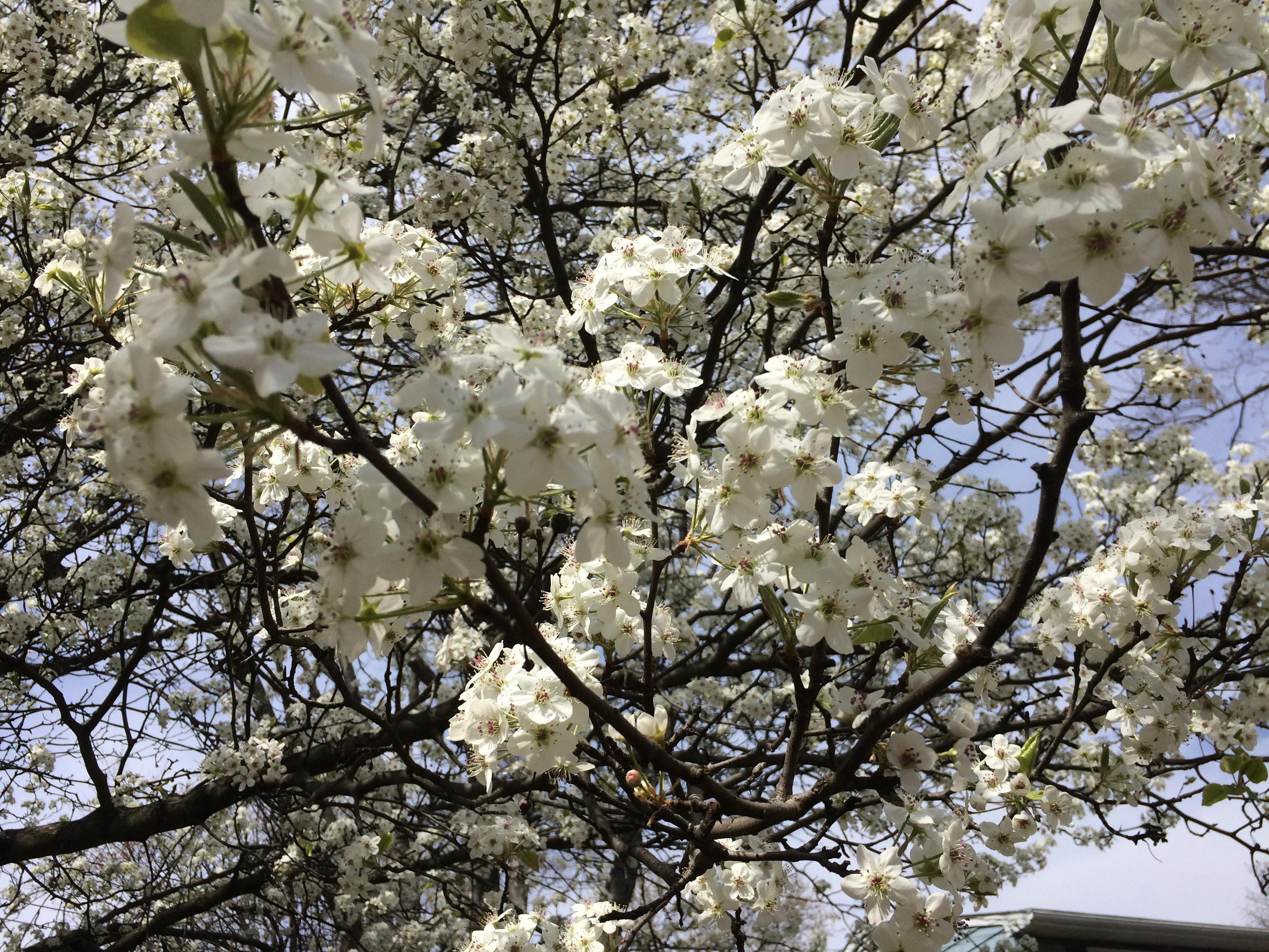 Beware The Bradford Pear Tree Pegplant