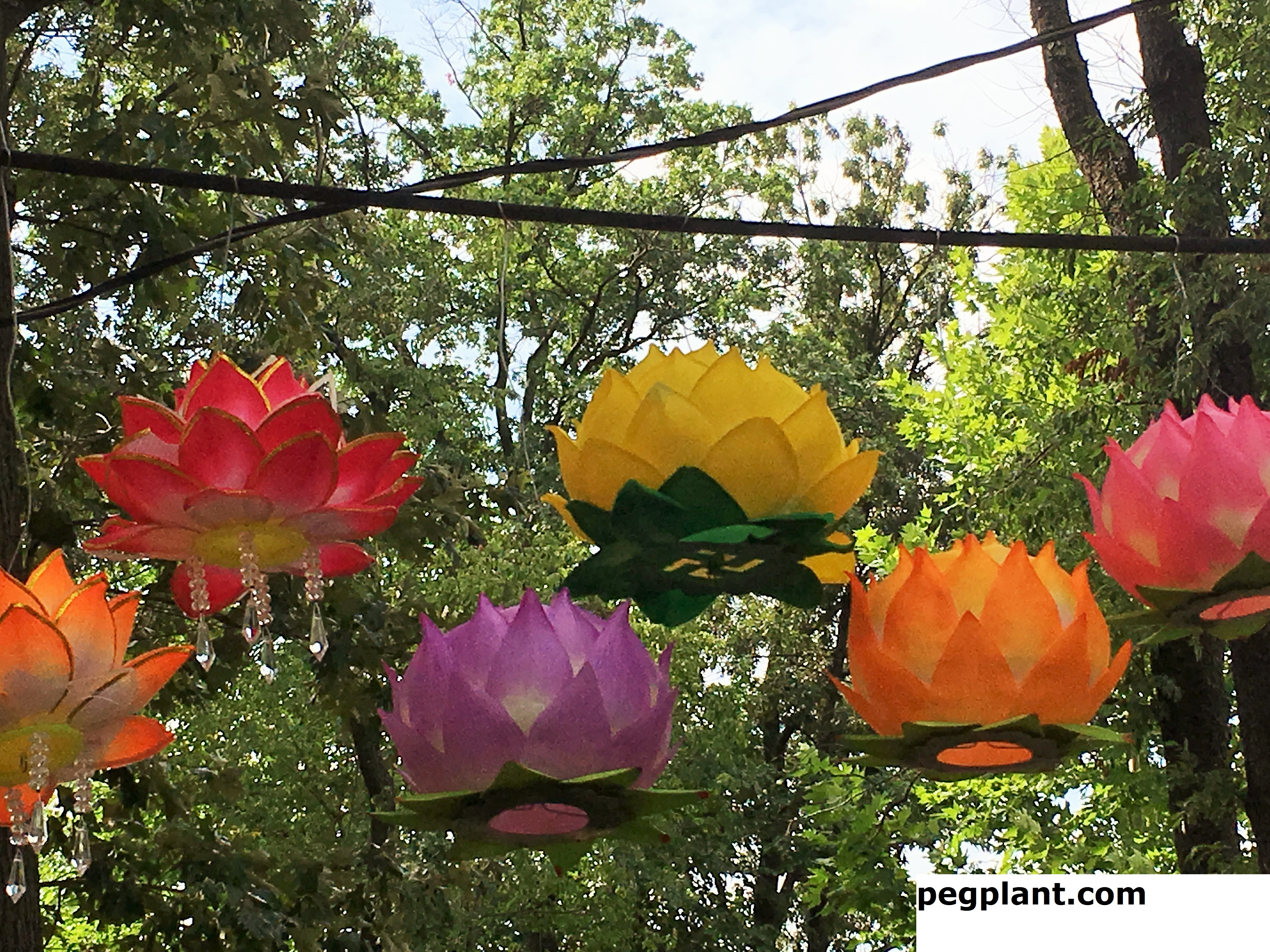 Amazing Lotus Flowers and Water Lilies at Kenilworth Park and